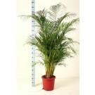 Areca palm