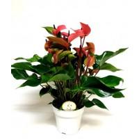 Anthurium Champion Cherry