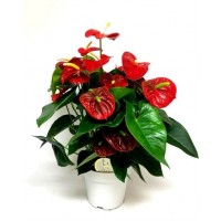Anthurium Royal Champion