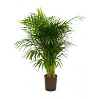 Areca palm hydrocultuur 110cm