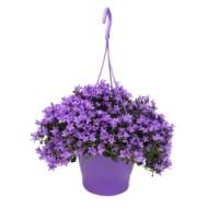 Campanula ambella purple
