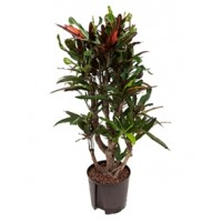 Croton mamey 100cm