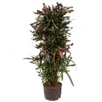 Croton mamey 135cm