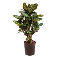 Croton petra 75cm