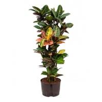 Croton petra 120cm hydrocultuur
