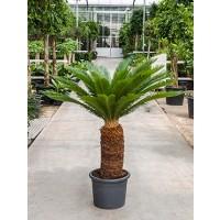 Cycas Revoluta 140cm