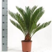 Cycas Revoluta 50cm
