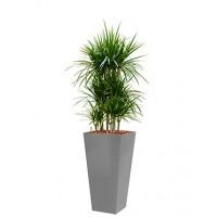Dracaena marginata in zilveren vierkante pot