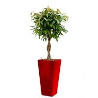 ficus amstel king in rode vierkante pot