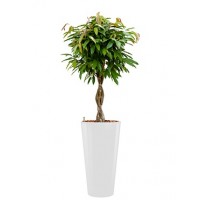 ficus amstel king in witte ronde pot