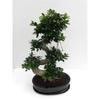 Ficus microcarpa hoogte incl keramiek pot 85cm