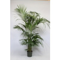 Kentia palm 240cm