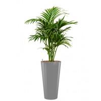 Kentia palm op hydrocultuur in ronde pot