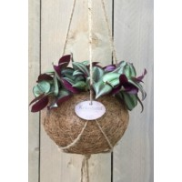 Tradescantia in kokos hangpot