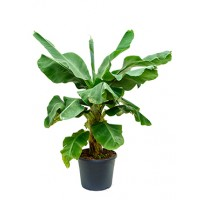 Bananenplant 120cm
