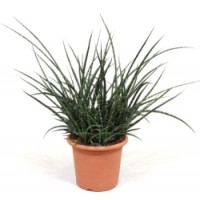 Sanseveria fernwood punk p25 70cm