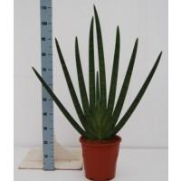 Sanseveria p27 100cm
