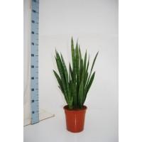 Sanseveria kirkii p19 80cm