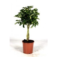 Schefflera Gold Capella stam 90cm