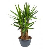 Yucca 3 armen 100cm