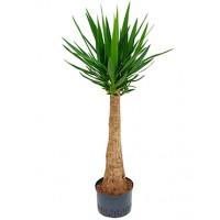 Yucca stam hydrocultuur