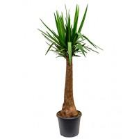 Yucca op stam 160cm