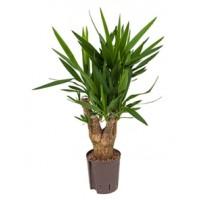 Yucca 80cm