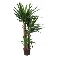 Yucca p22 150cm