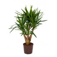 Yucca p22 90cm